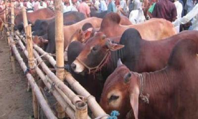 স্বাস্থ্যবিধি মেনে,আগামীকাল থেকে রাজধানীর হাটে পশু কেনাবেচা শুরু